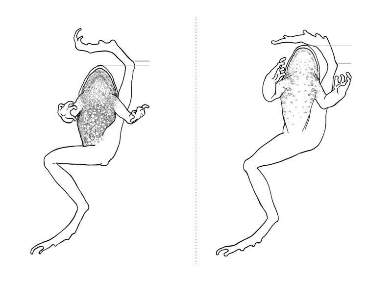Chiave dicotomica degli anfibi liguri